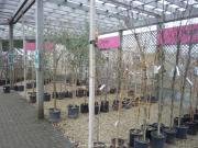 A good saelection of ornamental trees at Van Hage in Ware